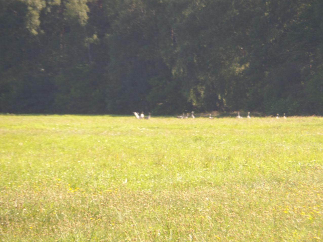 Kraanvogels bij de Köthener See