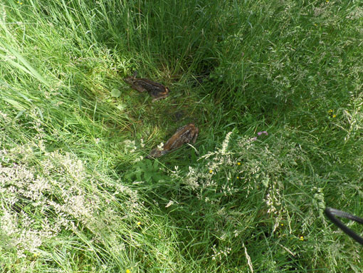 Hertenkalfjes in het lange gras, stil wachtend tot moeder hert weer terug komt. We struikelden er bijna over. Hebben het verder met rust gelaten.