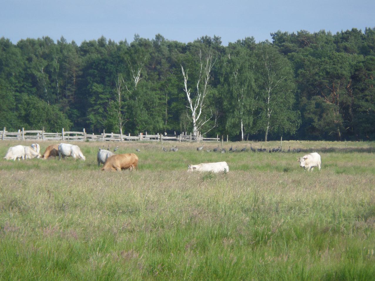 De koeien staan gelukkig in het land naast ons